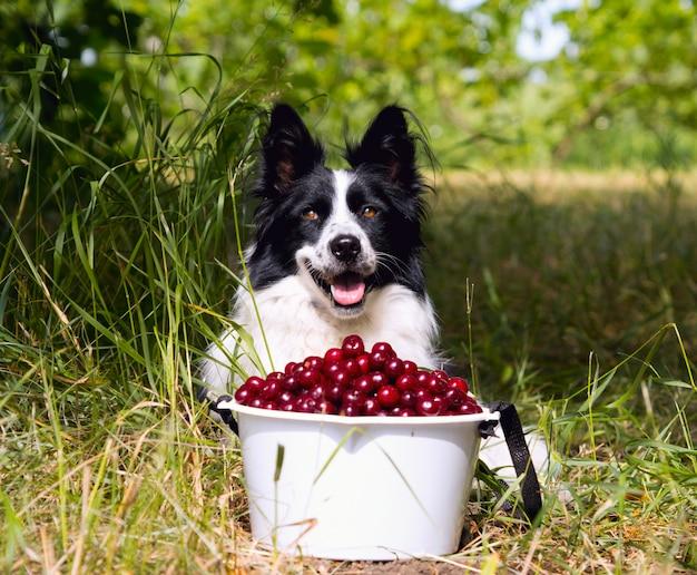 Sourire de race chien border collie couché sur l'herbe près d'un seau de cerises.