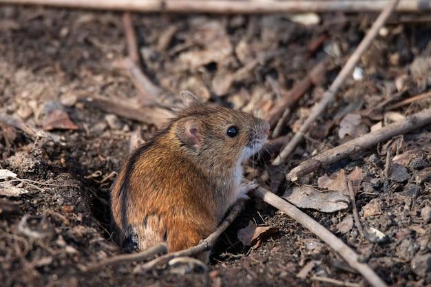 La souris de champ rayé
