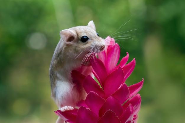 Souris gerbille mignon gros plan sur fleur rouge