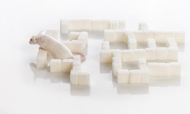 Souris de laboratoire blanche dans un labyrinthe de morceaux de sucre, concept de diabète