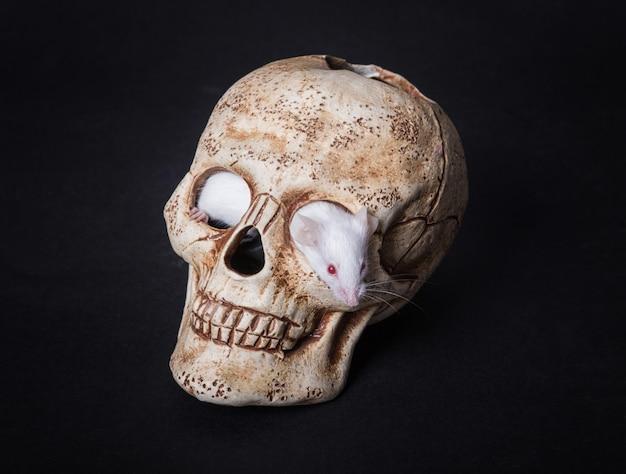 Une souris de laboratoire blanche sort de l'orbite d'un crâne en plastique