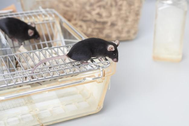 Souris de laboratoire sur le dessus de la cage standard
