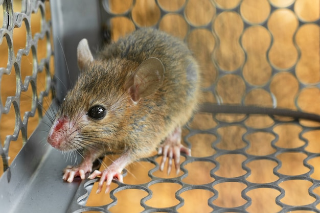 Des souris piégées dans une cage de trappe. à l'intérieur des pièges à rats.