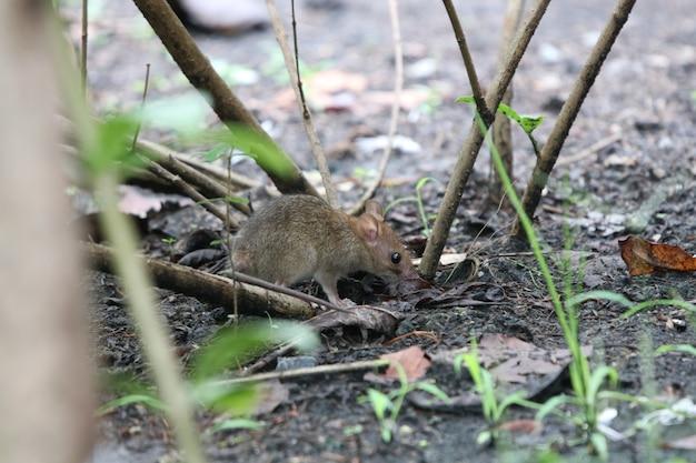 Souris sale animal près de l'arbre dans le jardin trouver de la nourriture dans l'environnement