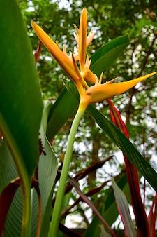 Sous vue de fleurs jaunes de torche heliconia
