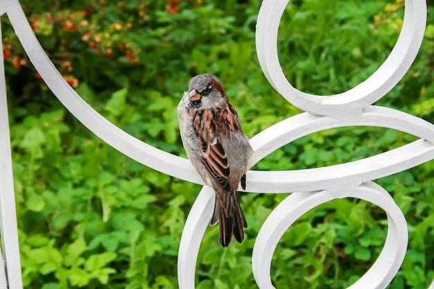 Sparrow est assis sur une clôture en métal blanc sur le feuillage vert