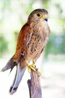 Sparrow hawk sur un fond vert flou