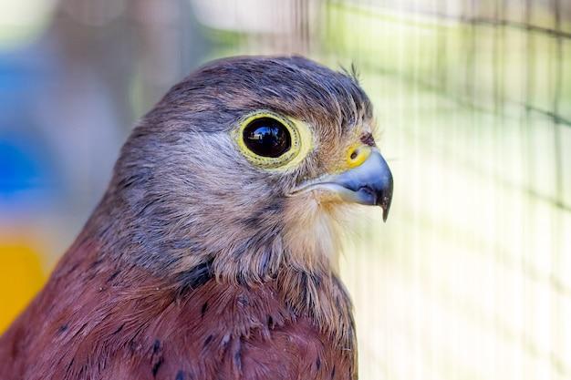Sparrow hawk gros plan sur un arrière-plan flou