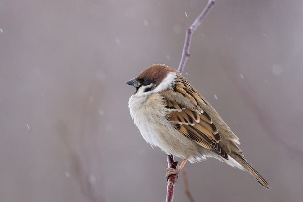 Sparrow neige hiver