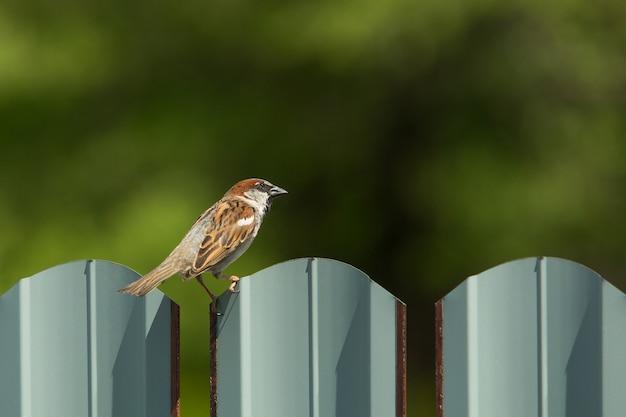 Sparrow se dresse sur une clôture