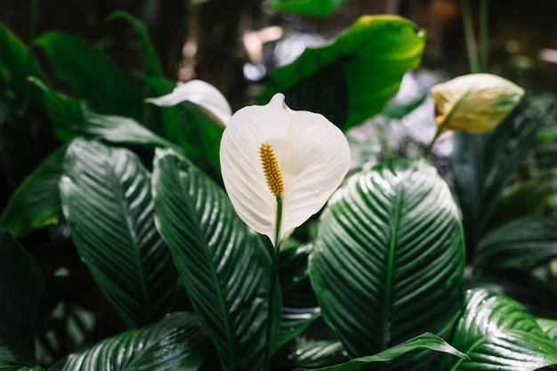 Spathiphyllum de belles fleurs blanches en fleurs