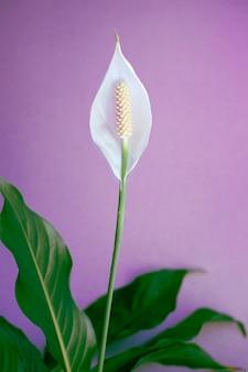 Le spathiphyllum fleurit. fleur délicate blanche en fleurs portant le nom de bonheur féminin, avec des feuilles vertes juteuses sur fond lilas.