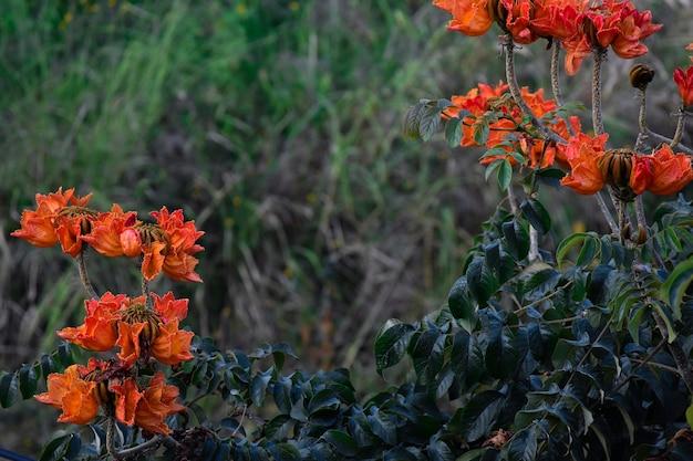 Spathodea campanulata ou arbol de flores naranjas