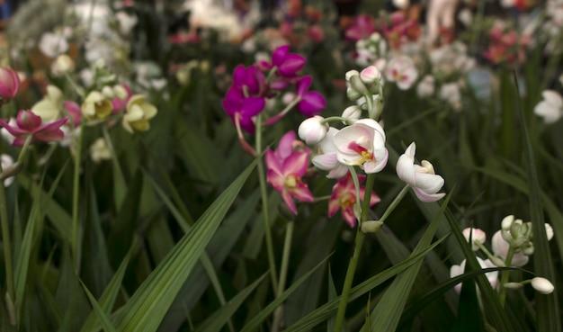 Spathoglottis belles couleurs dans l'un des marchés.