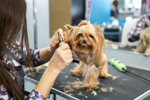 Un spécialiste professionnel de la toiletteuse d'animaux coupe les ongles des chiens avec des ciseaux dans une clinique vétérinaire
