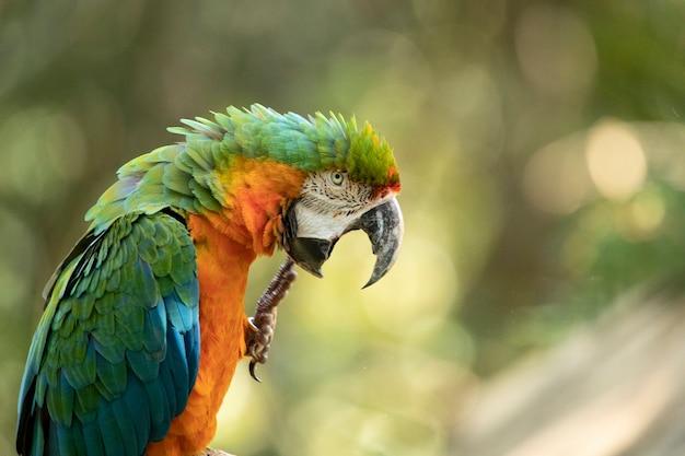 Ce spécimen était le résultat du croisement d'un grand ara vert et d'un ara rouge