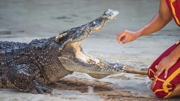 Spectacle dangereux de crocodiles en thaïlande