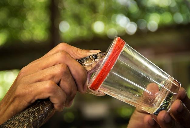 Spectacle de démonstration roulant vénéneux de serpent cobra.