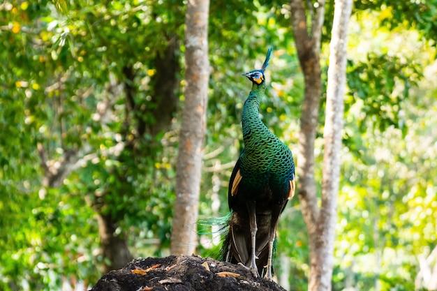 Spectacle masculin de paon avec des ailes déployées dans le profil