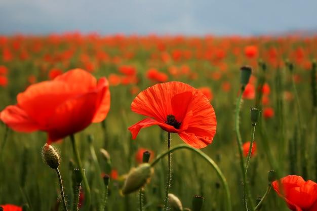 Spectaculaire, fleur vive, gros plan, de, pavots, dans, champ pavot