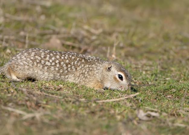 Le spermophile moucheté ou souslik tacheté (spermophilus suslicus) sur le sol.