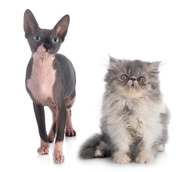 Sphinx nu et chat persan