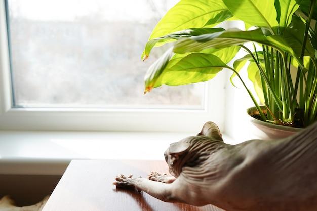 Sphynx cat près de la fenêtre