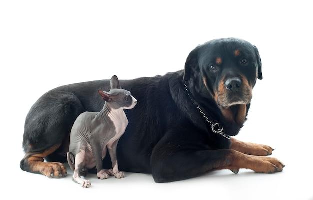 Sphynx cat et rottweiler