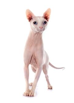 Sphynx chat sans poil