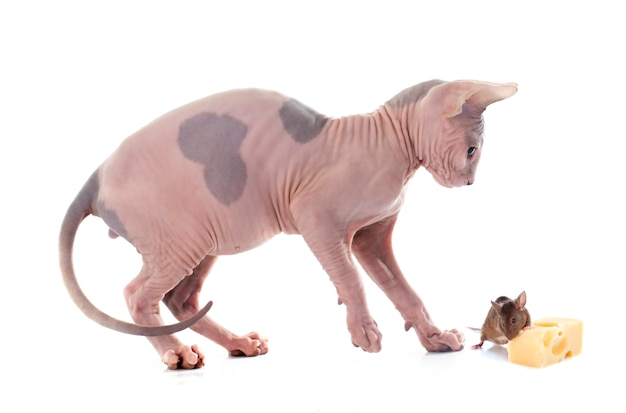 Sphynx hairless chat et souris