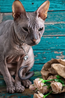 Sphynx de race de chat sérieux