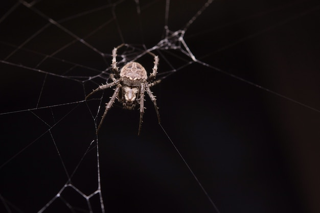 Spider grimpe sur le web.
