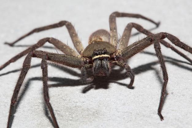 Spider wolf sur le mur à la maison en thaïlande