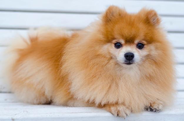Le spitz poméranien aux cheveux roux et moelleux exécute la commande de mentir. dressage de chiens, obéissance. coiffure pour animaux de compagnie, salon de toilettage. science vétérinaire
