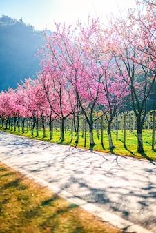 Spring cherry blossom path à travers une belle route, chiang mai, thaïlande