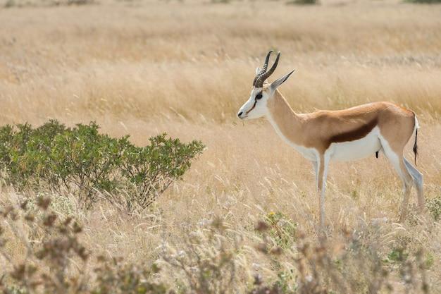 Springbok isolé sur la savane d'etosha