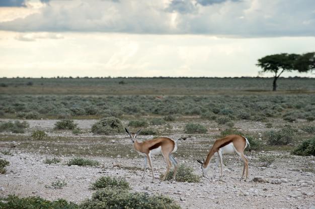 Springboks dans le parc national d'etosha en namibie