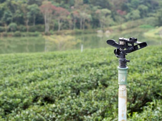 Springer watering l'arrière-plan est une plantation de thé vert.