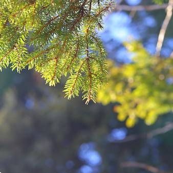 Spruce branches sur fond de forêt.