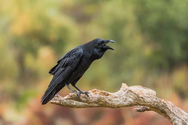 Squawk of a crow perché sur une branche
