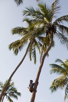 Sri-lankais sur noix de coco cueillette de noix de coco avec corde se bouchent.