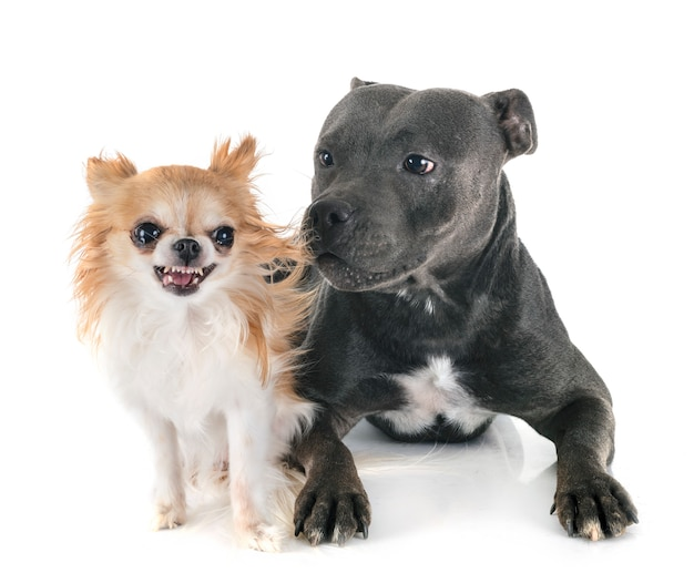 Staffordshire bull terrier et chihuahua