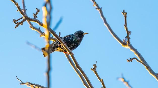 Starling est assis sur une branche d'arbre sur un fond de ciel bleu