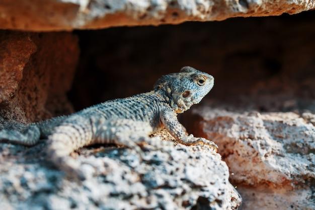 Stellion ou agama-gardun est une espèce de lézards agamidae du genre monotypique stellagama.