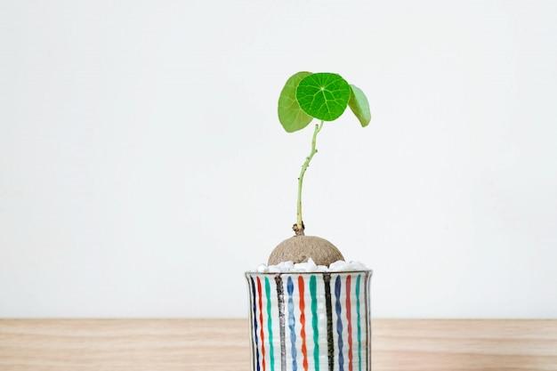 Stephania erecta dans un pot en céramique minimaliste sur fond blanc.