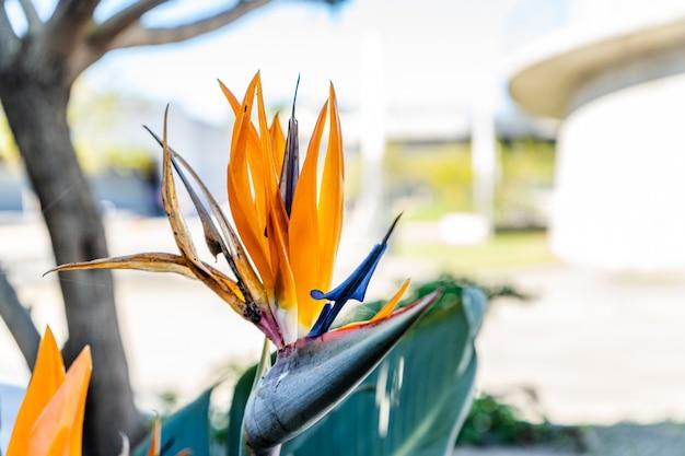 Sterlizia, fleur tropicale merveilleuse et exotique