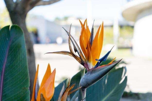 Sterlizia, grande et exotique fleur tropicale