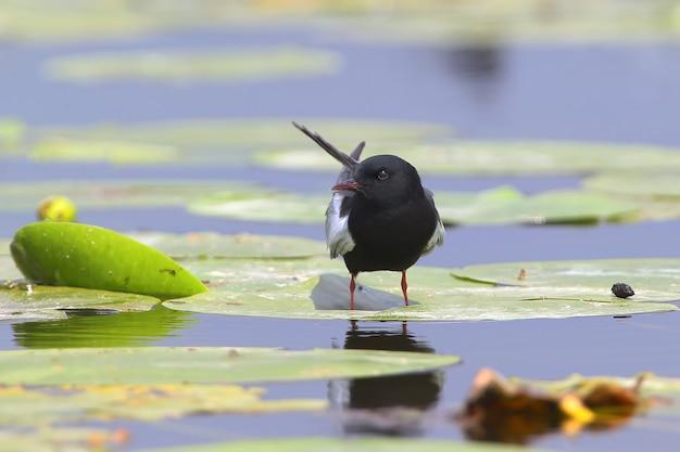 La sterne à ailes blanches ou sterne noire à ailes blanches