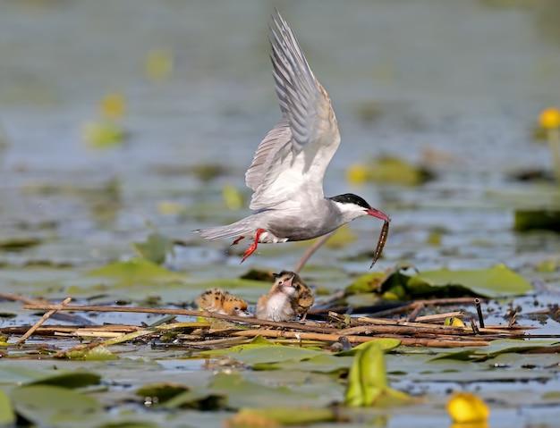 Sterne moustache adulte nourrit son poussin près du nid