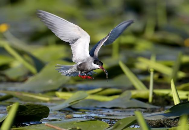 La sterne moustache (chlidonias hybrida) avec des poissons dans son bec, tourné en vol au-dessus de la végétation aquatique